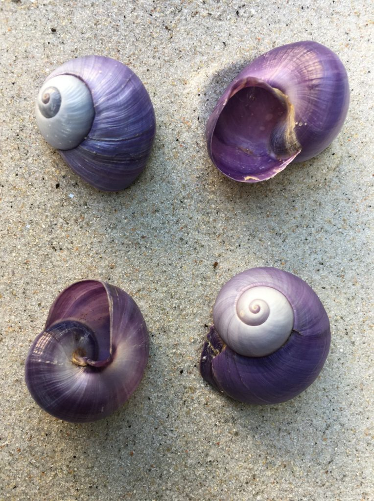 photograph of 4 violet sea snail shells